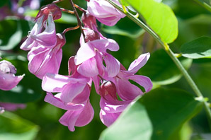 Robinia 'Purple (Black Locust)