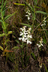 Spiranthes cernua (Common Ladies'-tresses)