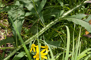 Verbesina alternifolia (Wingstem, Yellow Ironweed)