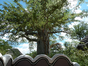 Adansonia digitata (Baobab, Dead-rat Tree, Monkey-bread Tree, Upside-down Tree)
