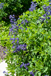 Baptisia australis (Blue False Indigo, False Indigo, Blue Wild Indigo)