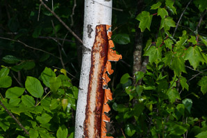 Betula populifolia (Gray Birch, Yellow Birch)