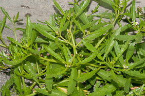 Cakile edentula (Sea Rocket)