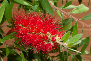 Callistemon citrinus (Crimson Bottlebrush, Bottlebrush)