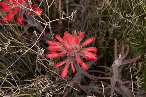 Castilleja angustifolia (desert paintbrush, painted cup)