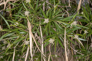 Chilopsis linearis (desert willow)