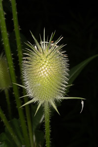 Dipsacus sativus (Indian Teasel)