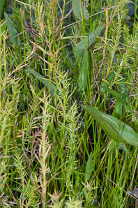 Dulichium arundinaceum (Three-way Sedge)