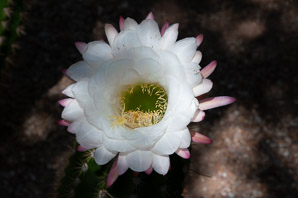 Echinopsis spachiana (Golden Torch Cereus, Hedgehog Cactus, White Torch Cactus, Golden Torch)