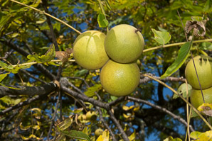 Juglans nigra (Eastern Black Walnut, Black Walnut)