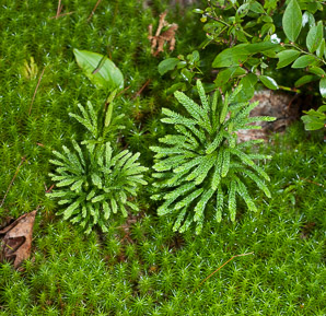 Lycopodium obscurum (Common Ground-pine, Rare Clubmoss, Tree Clubmoss, Round Branched Clubmoss)