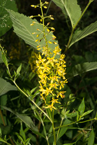 Lysimachia terrestris (Swamp Candles, Bog Loosestrife, Lake Loosestrife, Earth Loosestrife, Bulbil Loosestrife)