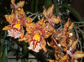Oncidium Sheila (Dancing Lady)