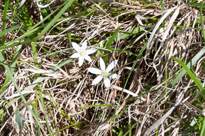 Ornithogalum umbellatum (Star of Bethlehem, Grass Lily, Nap-at-Noon, Eleven-o'clock Lady, Star-of-Bethlehem)