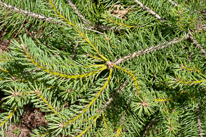 Pinus sylvestris (scotch pine)