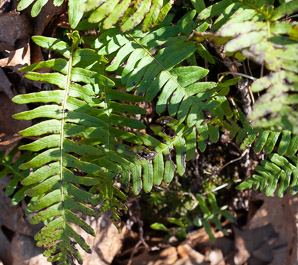 Polypodium virginianum (Common Polypody, Rock Polypody, Rock Cap Fern)