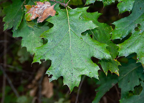 Quercus velutina (Eastern Black Oak, Black Oak, Yellow Oak)