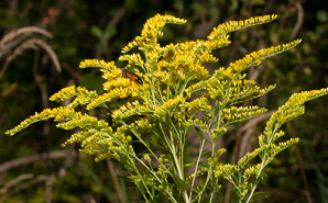 Solidago gigantea (Smooth Goldenrod, Giant Goldenrod)