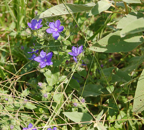 Triodanis perfoliata (Venus' Looking Glass)