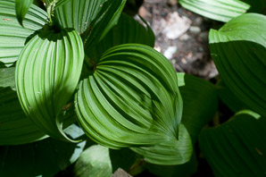 Veratrum viride (False Hellebore, Green False Hellebore, Indian Poke, American Hellebore)