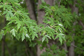 Acer saccharinum (silver maple, creek maple, river maple, silverleaf maple, soft maple, white maple, water maple)