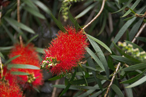 Callistemon cv. (bottle brush)
