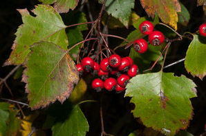 Crataegus monogyna (English Hawthorn)
