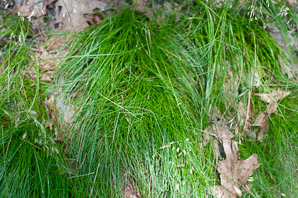 Deschampsia flexuosa (hair grass, crinkled hairgrass)