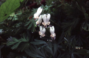 Dicentra canadensis (Squirrel-corn, Dutchman's Breeches, Squirrel Corn)