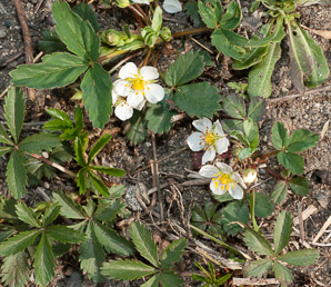 Fragaria virginiana (Common Strawberry, Virginia Strawberry, Wild Strawberry, Strawberry)