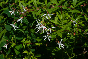 Gillenia trifoliata (Bowman's Root, Mountain Indian-psychic)