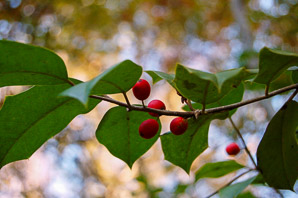 Ilex decidua (Deciduous Holly)