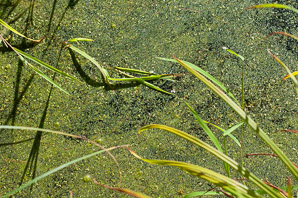 Lemna minor (Common Duckweed)