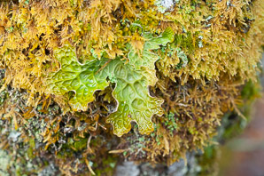 Lobaria pulmonaria (Lungwort, Tree Lungwort, Lung Lichen, Lung Moss, Oak Lungs)