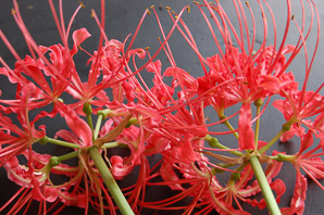 Lycoris radiata (Wild Red Spider Lily)