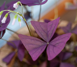 Oxalis triangularis (Love Plant, Purple Shamrock, False Shamrock)