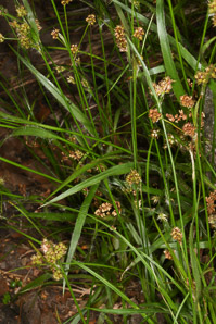 Rhynchospora capitellata (brownish beaksedge)