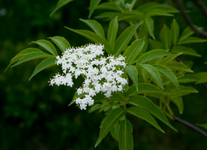 Sambucus nigra (Elderberry, American Elderberry, Common Elderberry, Black Elderberry)