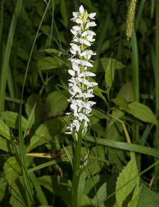 Spiranthes romanzoffiana (hooded ladies'-tresses)