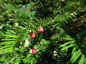 Taxus baccata (Yew)