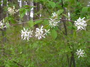 Amelanchier canadensis (Shadbush)