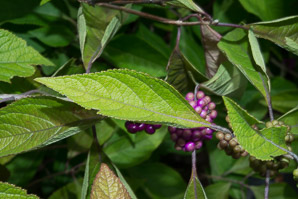 Callicarpa dichotoma (Purple Beautyberry)