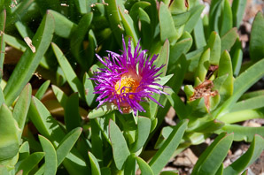 Carpobrotus chilensis (Sea Fig)