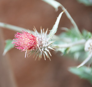 Cirsium occidentale (Snowy Thistle)