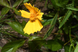 Coreopsis lanceolata (Lanceleaf Tickseed, Lance-leaved Tickseed)