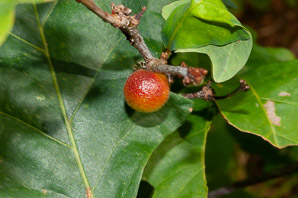 Cynips quercusfolii (Cherry Gall)