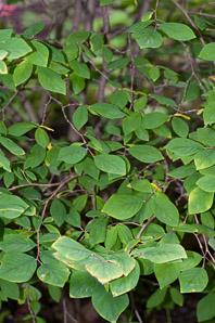 Dirca palustris (Eastern Leatherwood, Leatherwood)