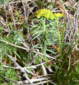 Euphorbia cyparissias (Cypress Spurge, Spurge)