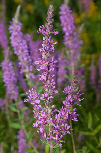 Lythrum salicaria (purple loosestrife)