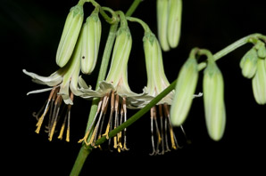Prenanthes altissima (Tall White Lettuce)